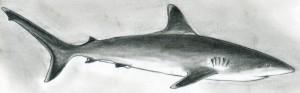 new shark