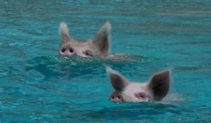swimming pigs